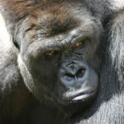 Timmy the Gorilla